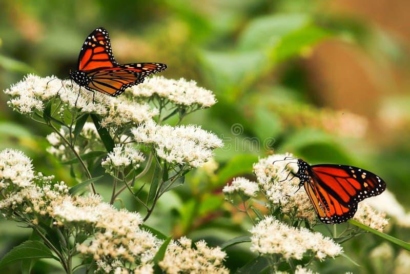 Monarkfj?rilar p? vita l?sa blommor i den sena sommaren royaltyfria foton