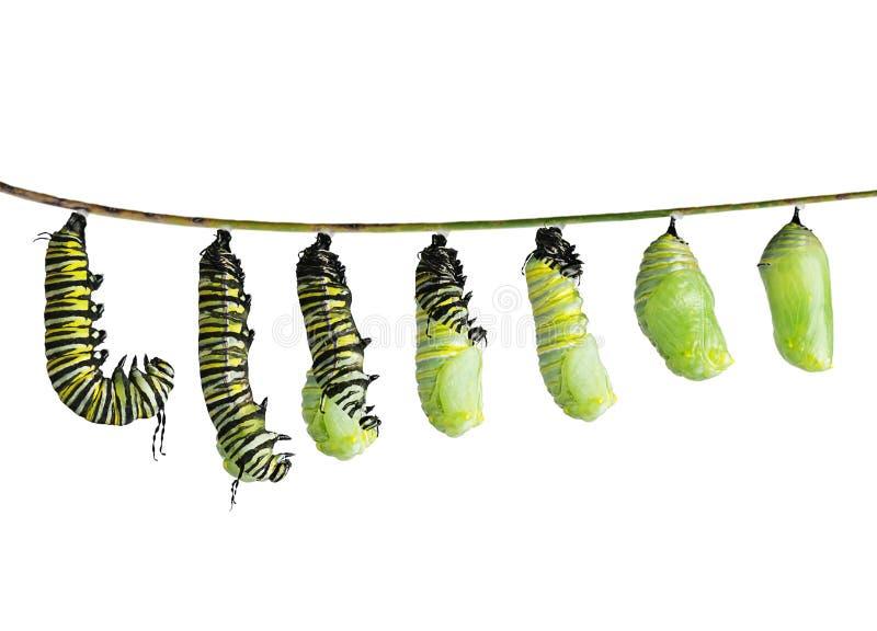 Monarklarv i olika etapper som isoleras på vit royaltyfri bild
