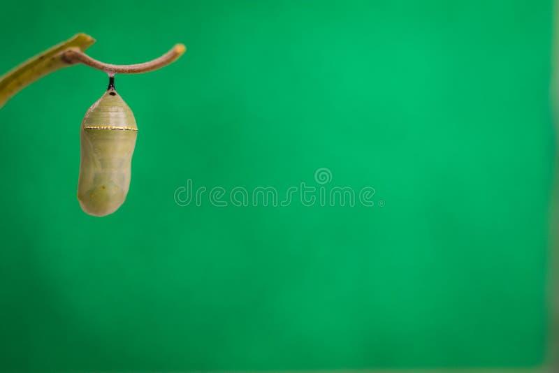 Monarkpuppa på bakgrund för Milkweedstamgräsplan arkivbilder