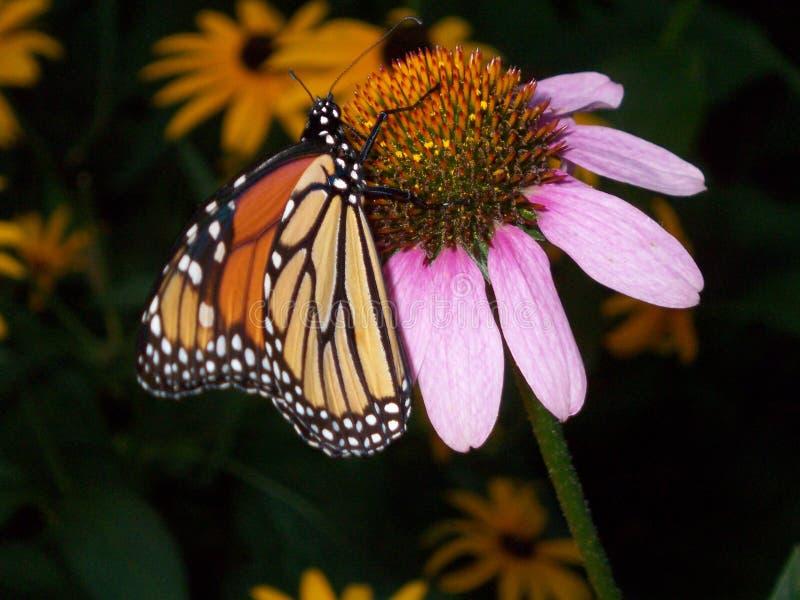 Monarque butterly sur la fleur photographie stock libre de droits