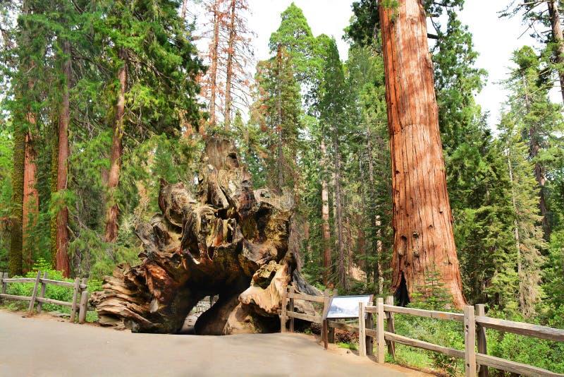 Monarque tombé, arbre énorme de séquoia dans la forêt photo libre de droits