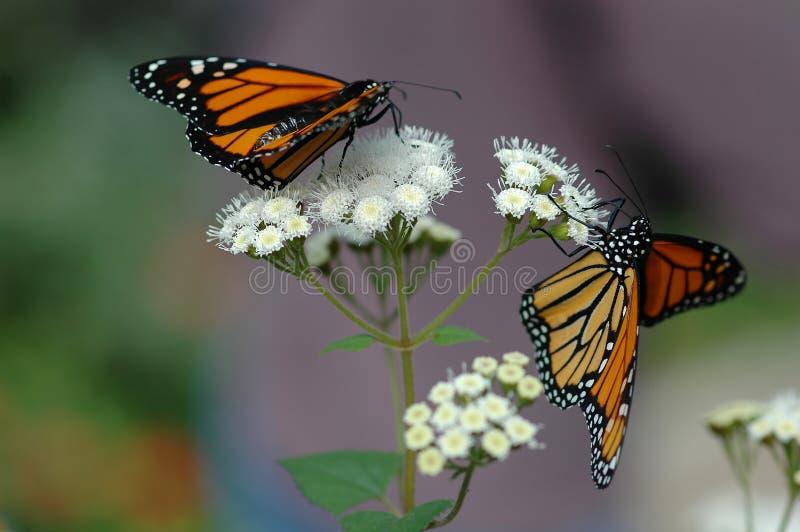 Monarques sur la fleur blanche photos libres de droits