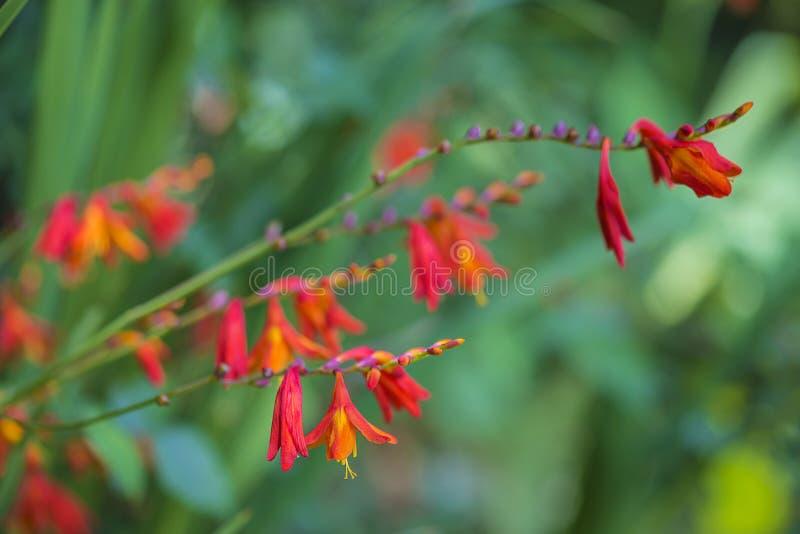Monbretia of crocosmia oranje bloemen royalty-vrije stock fotografie