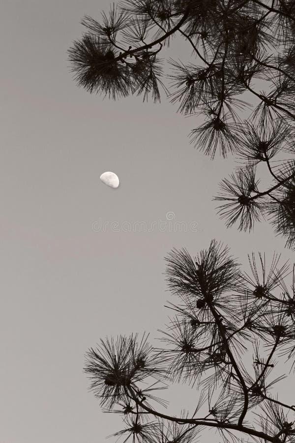 Mond im Himmel über torrey Kiefern stockfoto