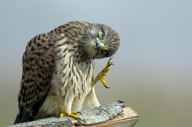 The Monday morning Kestrel... Monday morning... or The Gräsänkling Blues seems to fit here with the juvenile kestrel scratching the head in Uppland stock photos
