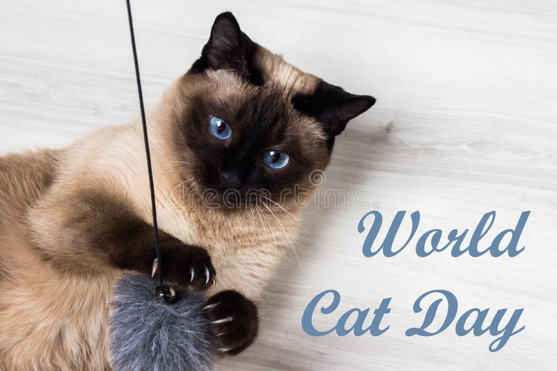 Monde Cat Day Chat siamois adulte de 8 August An photo stock