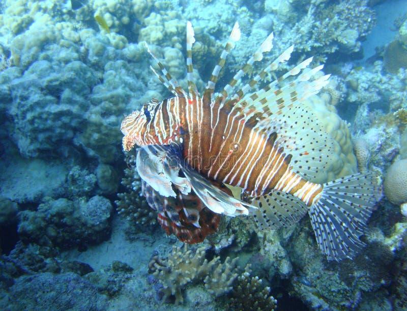 Monde sous-marin coloré de la Mer Rouge photo libre de droits