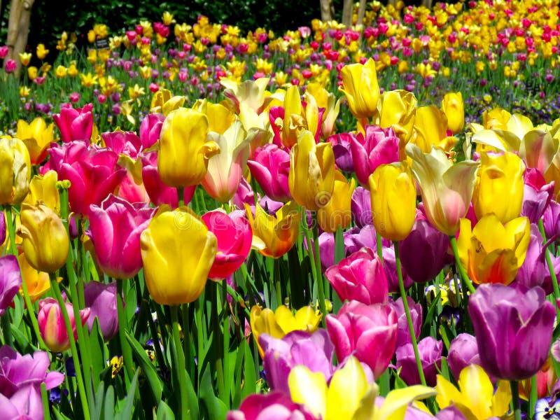 Mondo dei tulipani e dei fiori fotografie stock
