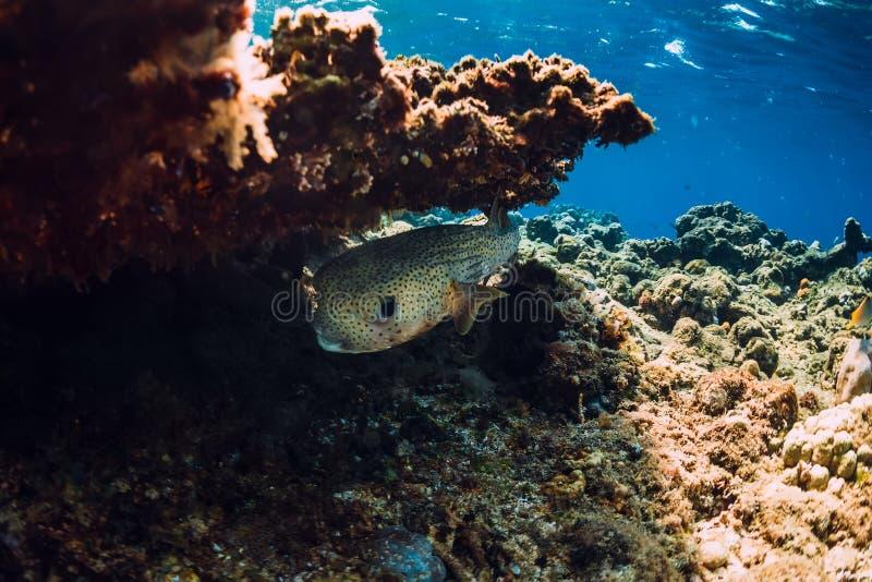 Mondo del mare in subacqueo con il pesce della scatola in oceano sotto la barriera corallina immagini stock