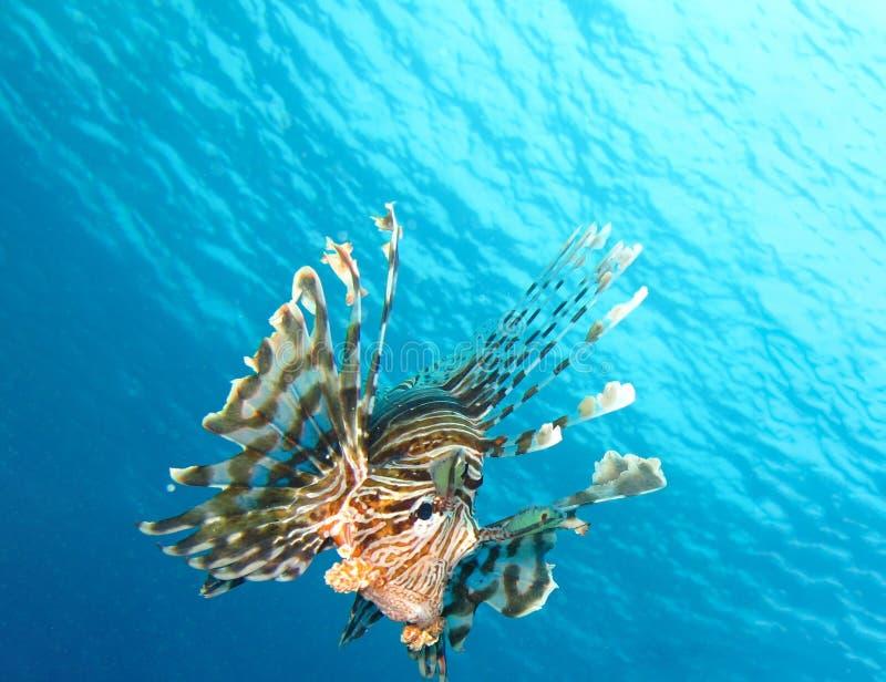 Mondo subacqueo in acqua profonda nella flora della natura delle piante e della barriera corallina nella fauna selvatica marina d immagini stock libere da diritti