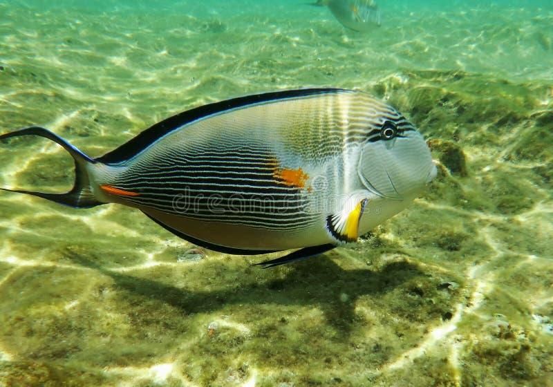 Mondo subacqueo del Mar Rosso, un pesce-chirurgo ad una profondità bassa, nei raggi di luce solare fotografia stock libera da diritti