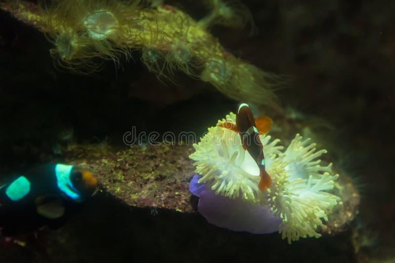 An?mone dans l'aquarium de l'aquarium de Phuket thailand photo stock