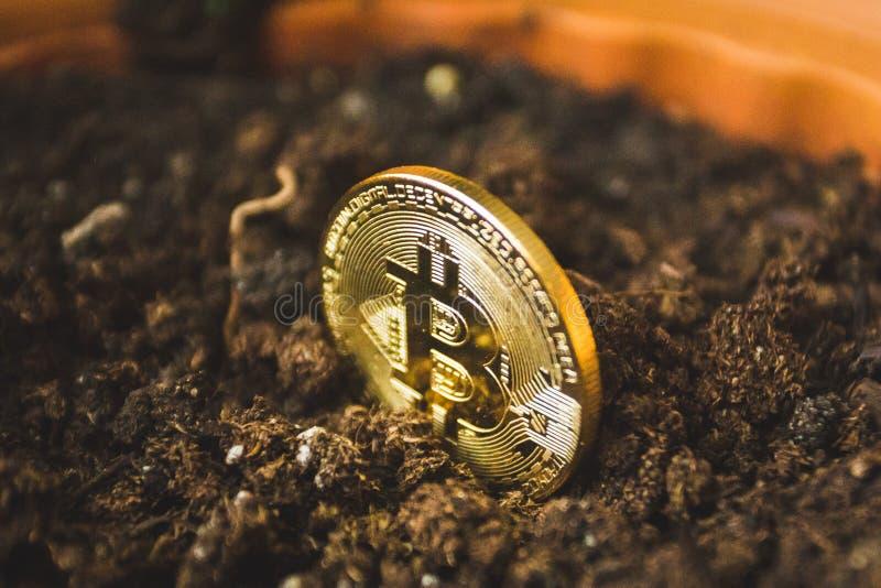 Moneda de oro simbólica del bitcoin que crece en suelo imagenes de archivo