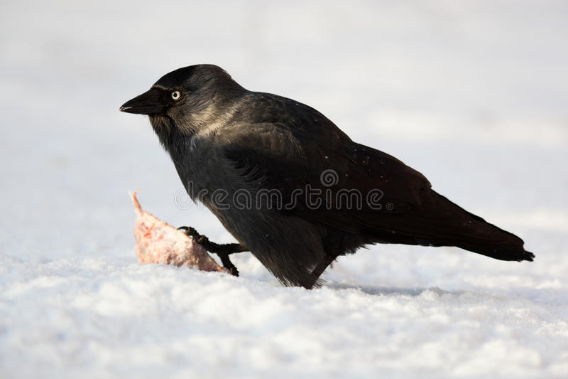 monedula jackdaw daw corvus стоковые фото