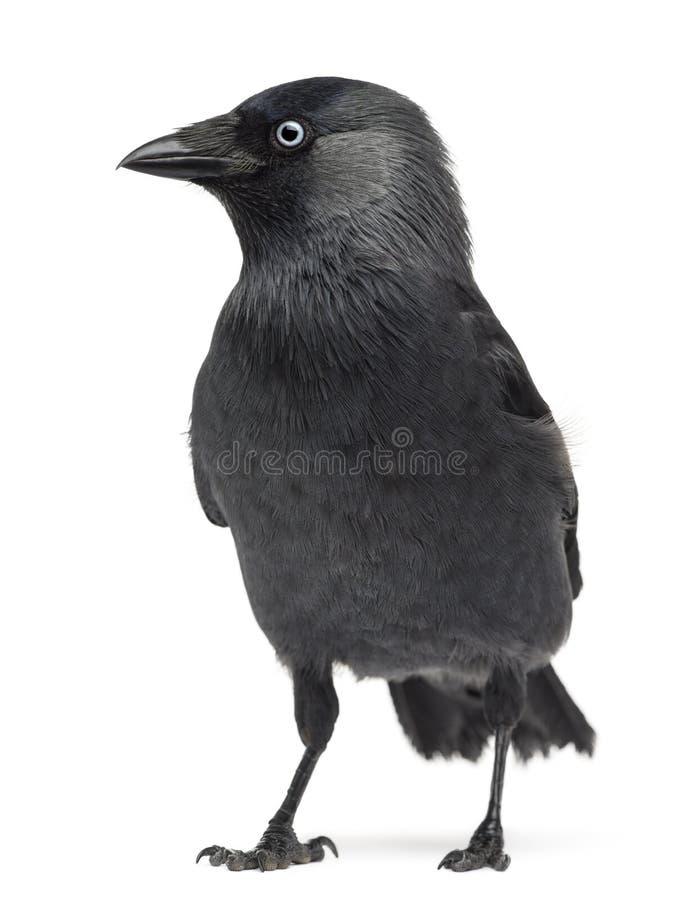 Monedula occidentale del Corvus della taccola fotografia stock
