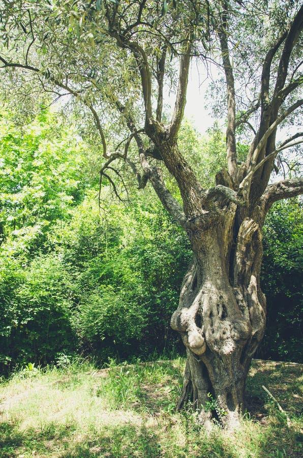 Monestery Hilandar i - оливковое дерево Dusan царя стоковые изображения rf