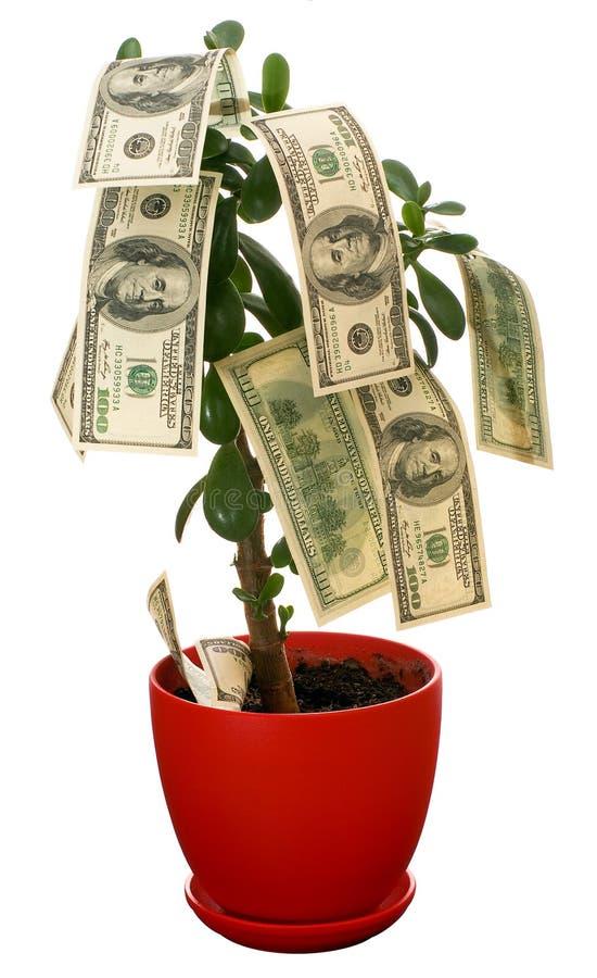 Monetary tree. Dollars growing on the monetary tree isolated on white background royalty free stock image
