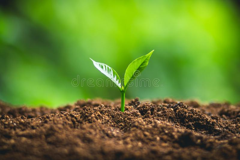 Tree Growth Three Steps In nature And beautiful morning lighting royalty free stock photography