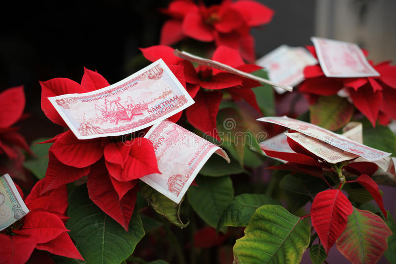 Money offering in Vietnam for Chinese new year on poinsettia. Or christmas flower stock images