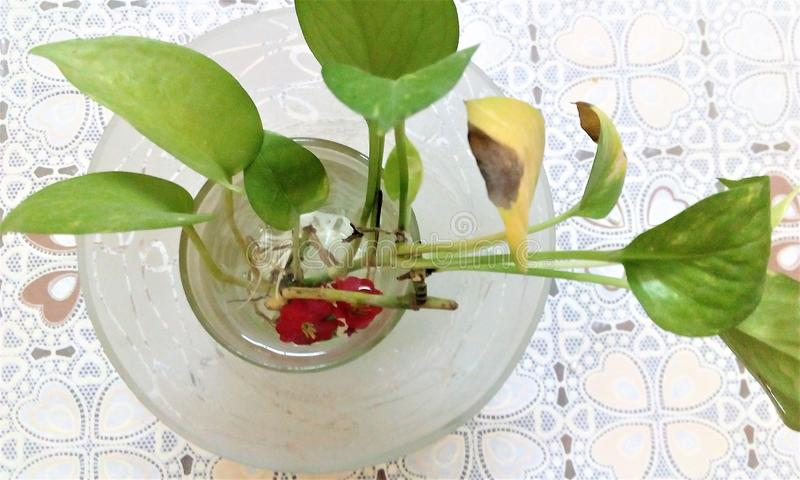 Money Plant in a glass royalty free stock photo