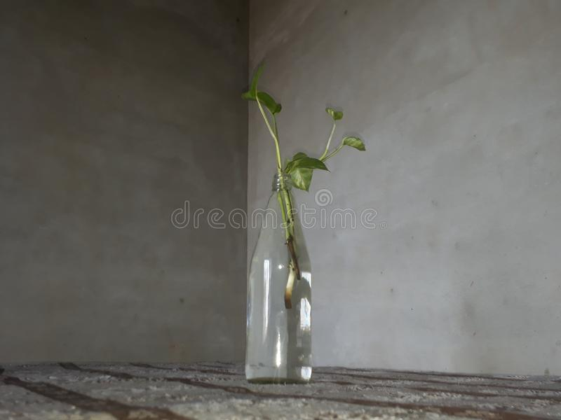 Money Plant grow in water. Money plant is easy to grow in water. ... Single healthy `stem cutting` of money plant can be used to grow it in glass bottle/jar half royalty free stock images