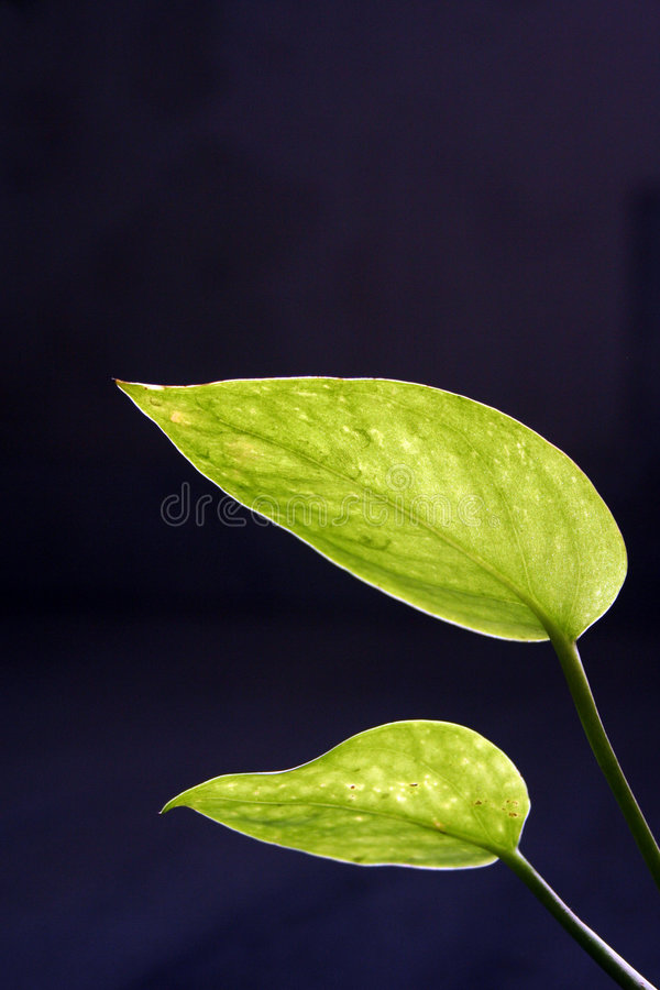 Money plant leaf royalty free stock images