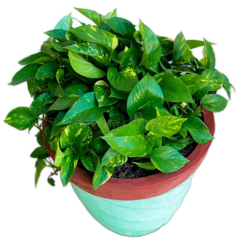 Money plant Pothos in Pot stock photography