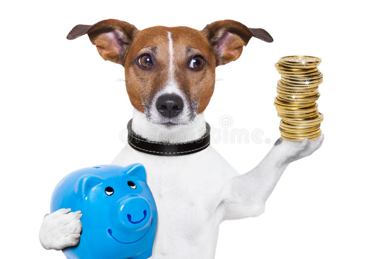Money saving dog. Dog holding a blue piggy bank and a stack of coins royalty free stock images