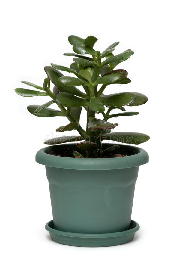 Money tree. Dollar plant known also as jade plant or money tree. Isolated on white stock image