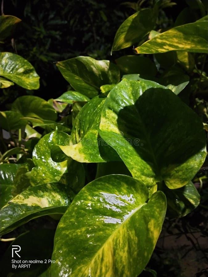 Moneyplant, nocy stuknięcie, miłość, Zielone rośliny, miłości roślina fotografia stock