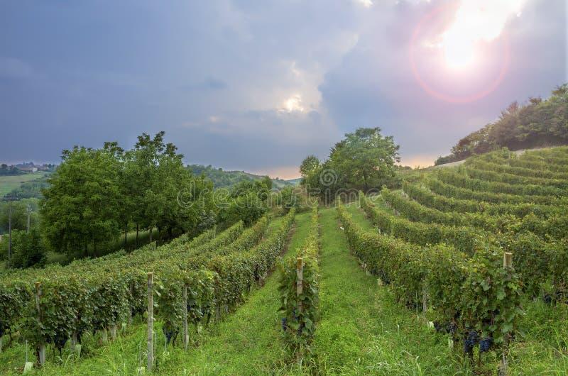 Monferrato : Contre-jour de vignobles de Barbera Image de couleur photographie stock
