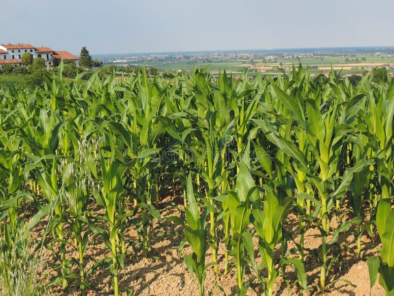 Monferrato kukurydzani pola obraz stock