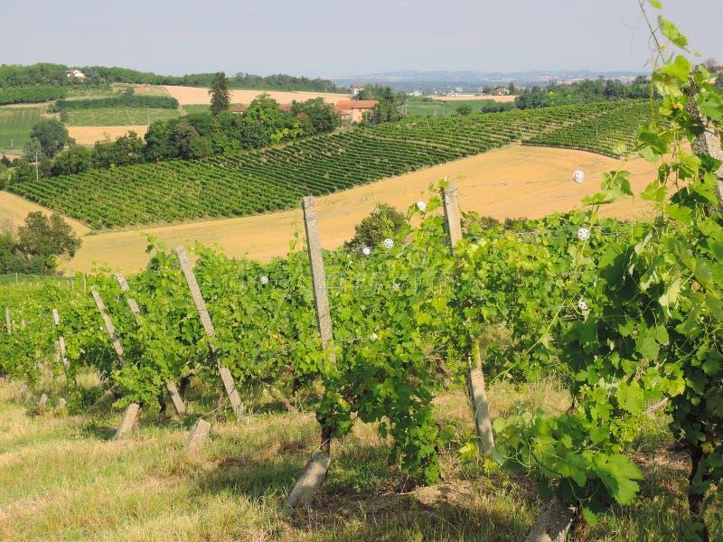 Monferrato vingårdar royaltyfria foton