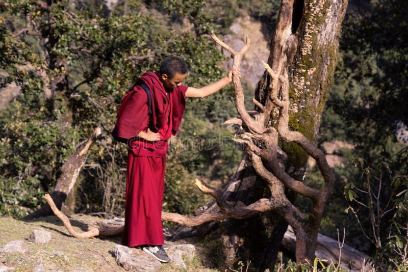 A monge budista contempla raizes curvadas do pinho imagem de stock