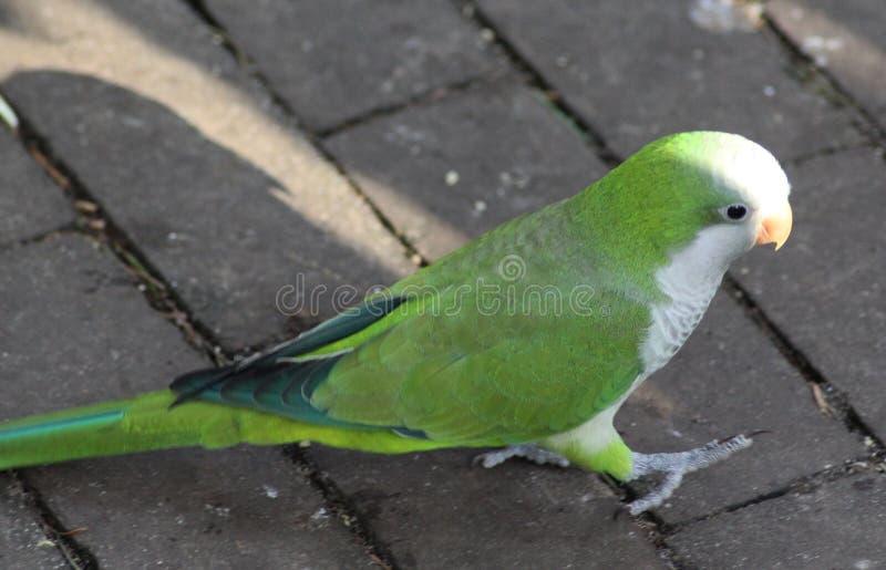 Monge Parakeet imagem de stock