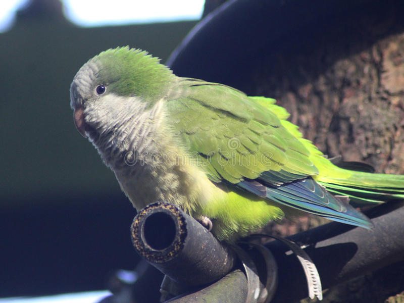 Monge Parakeet imagem de stock royalty free