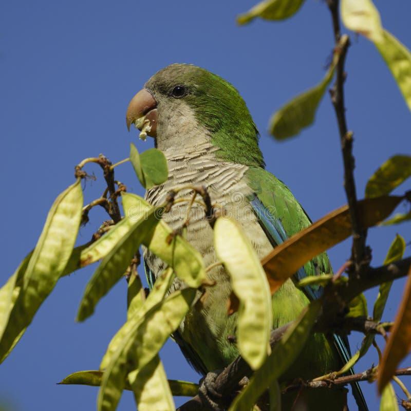 Monge Parakeet Eating Perched em uma árvore fotos de stock royalty free