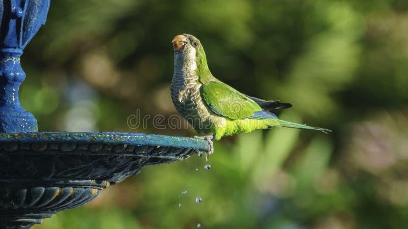 Monge Parakeet na fonte Cadiz do parque de Genoves foto de stock royalty free