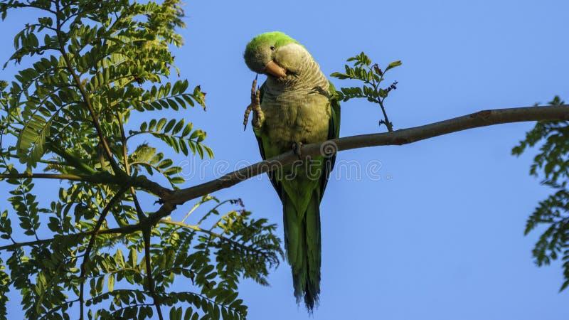 Monge Parakeet no parque Cadiz de Genoves imagem de stock