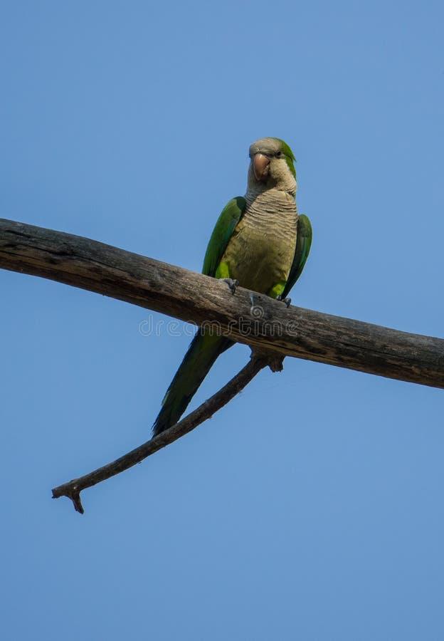 Monge Parakeet que empoleira-se no ramo fotografia de stock royalty free