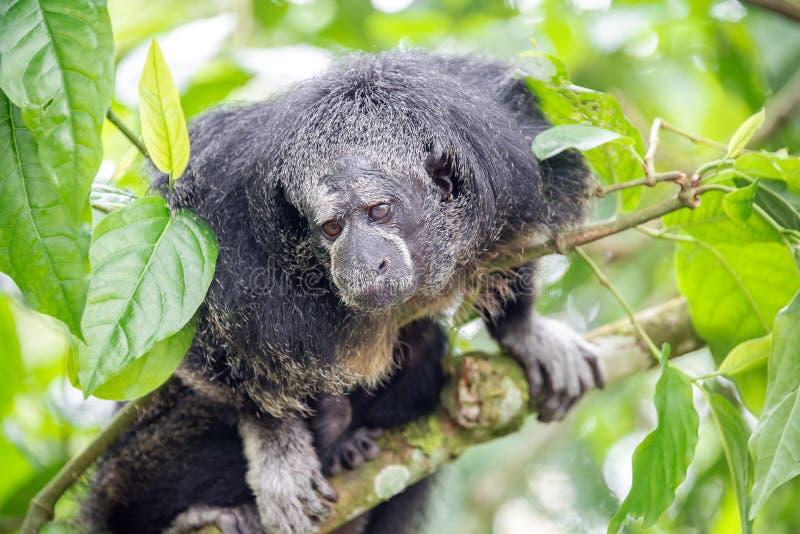 Monge Saki Monkey imagens de stock