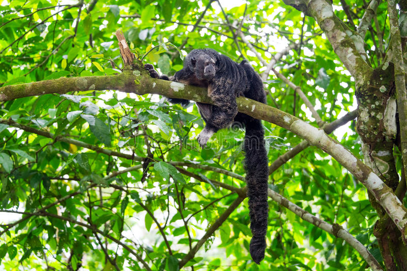 Monge Saki Monkey e cauda imagem de stock