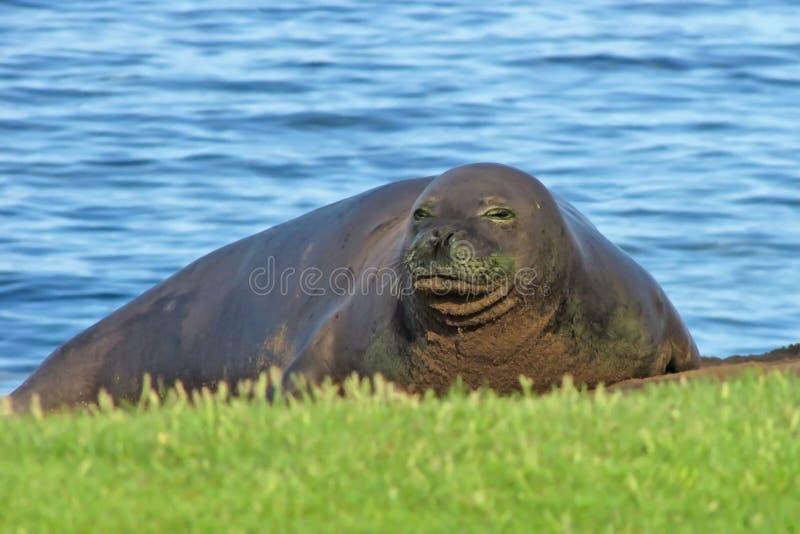 Monge Seal na praia que olha a câmera foto de stock