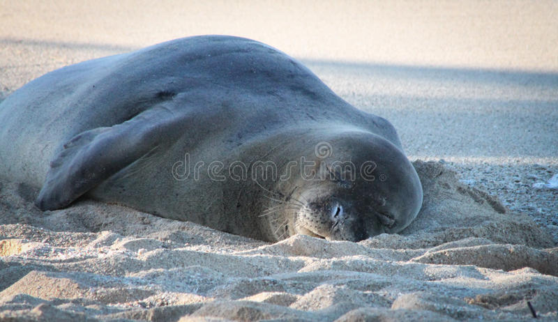 Monge Seal Napping imagem de stock royalty free