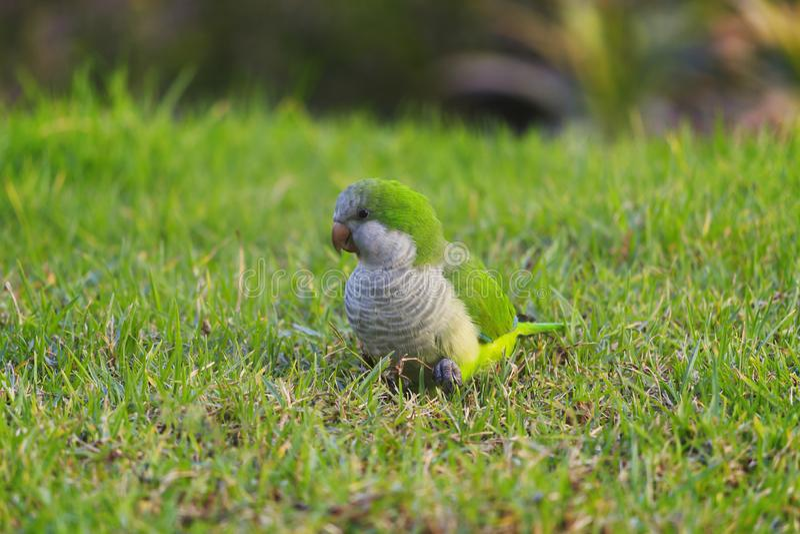 Monge verde Parakeet do papagaio, monachus de Myiopsitta na grama verde imagens de stock