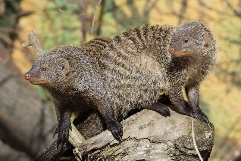 mongoes royalty-vrije stock foto's
