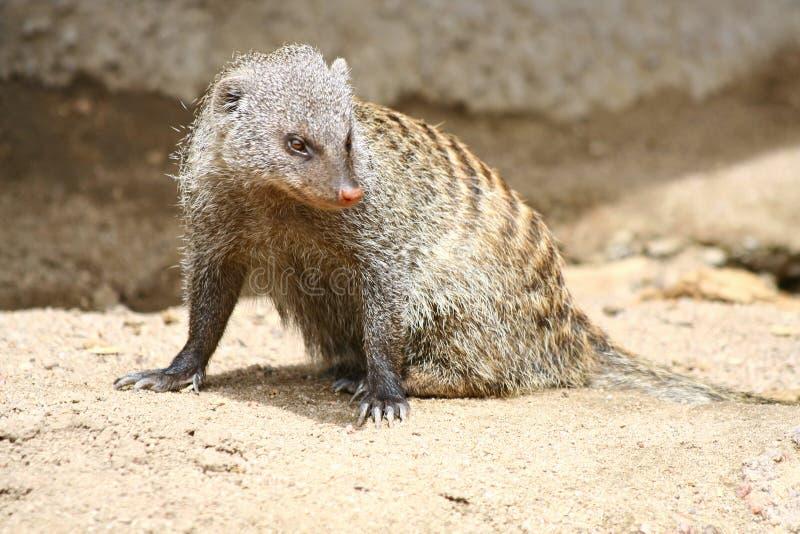 Mongoes stock foto