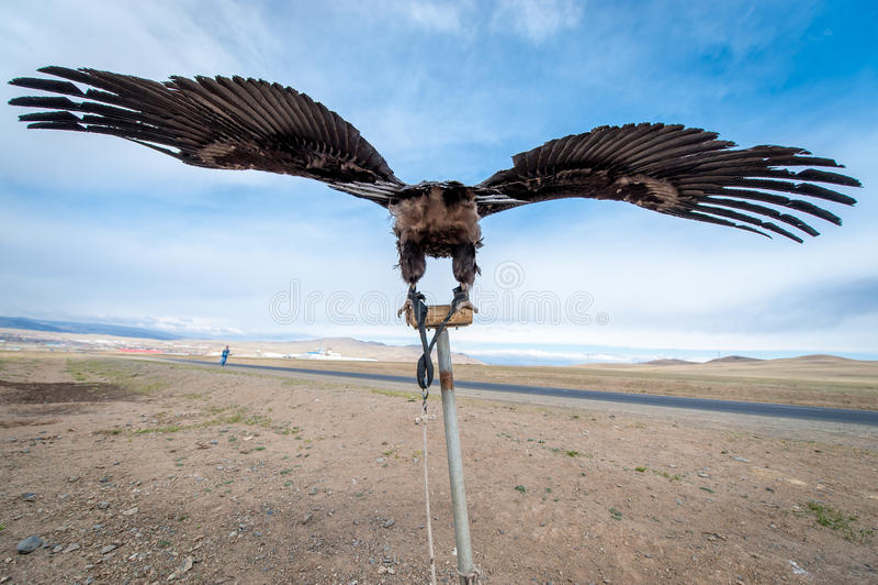 MONGOLIË - 17 mei, 2015: Speciaal opgeleide adelaar voor de jacht in Mongoolse woestijn dichtbij ulaan-Baator royalty-vrije stock fotografie
