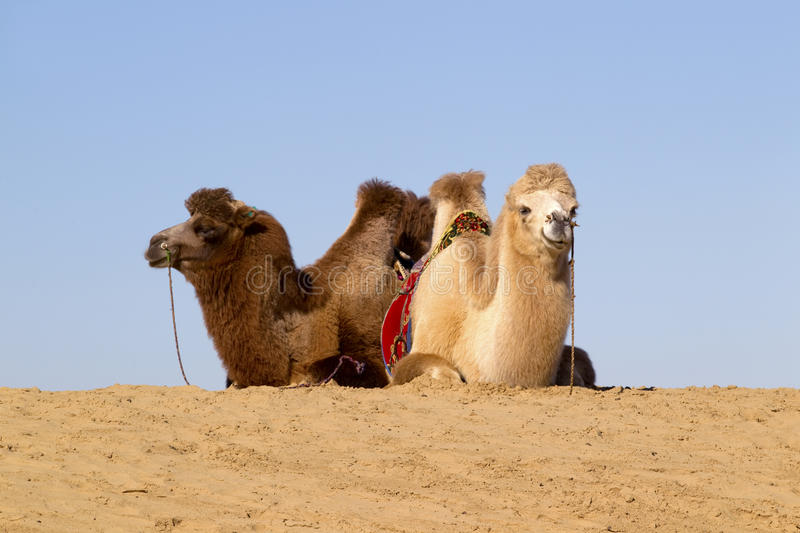 Download Mongolia stock image. Image of animal, sand, hump, dune - 24502327