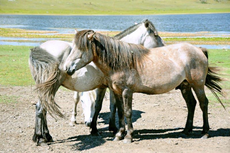 mongolia Los caballos mongoles en un pasto cerca de las montañas de Sayan acercan al lago Hovsgol en Mongolia en el verano imágenes de archivo libres de regalías